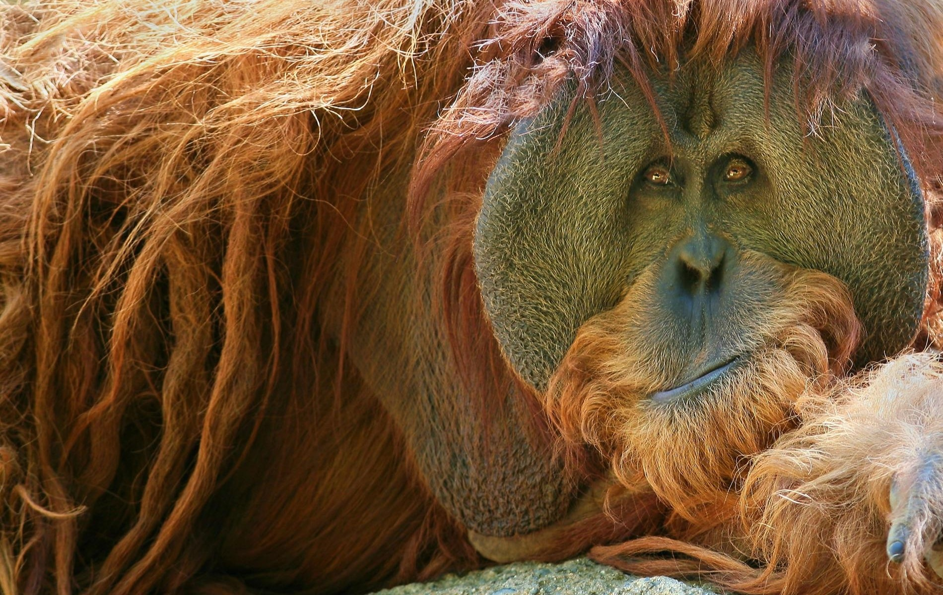 Orangutan desktop wallpaper
