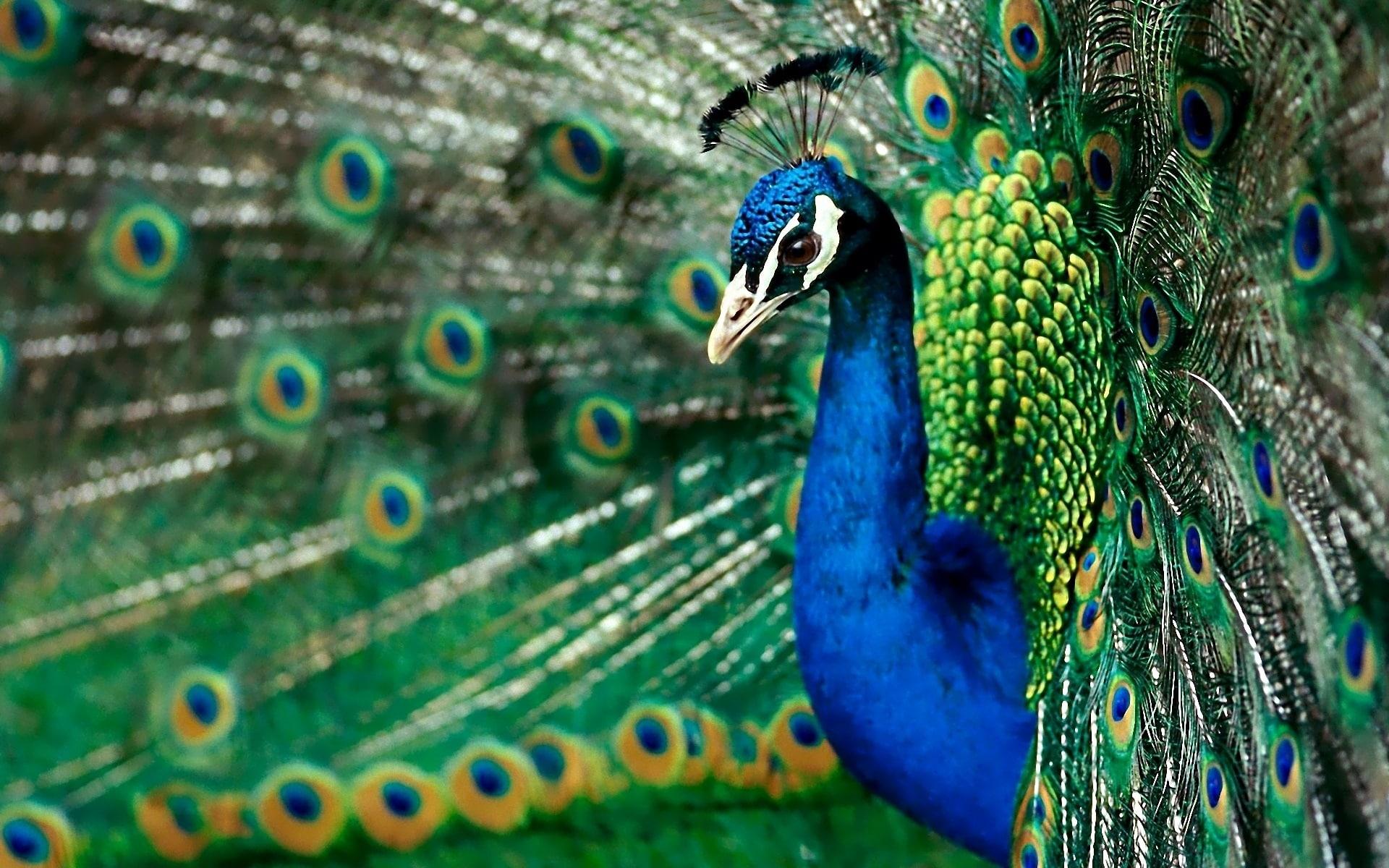 Peacock Widescreen for desktop