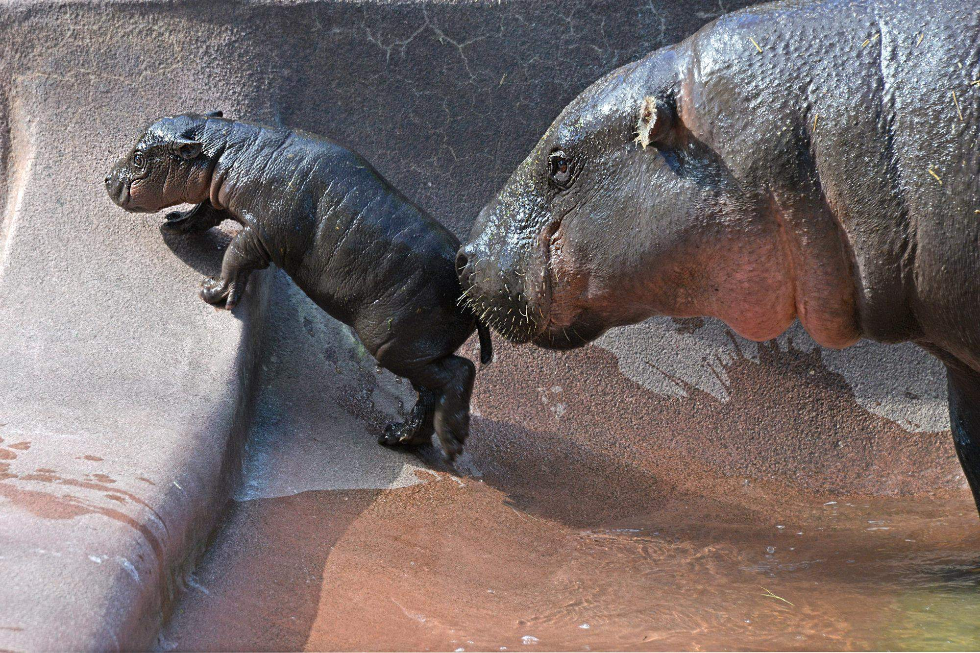 Pygmy hippopotamus Widescreen for desktop