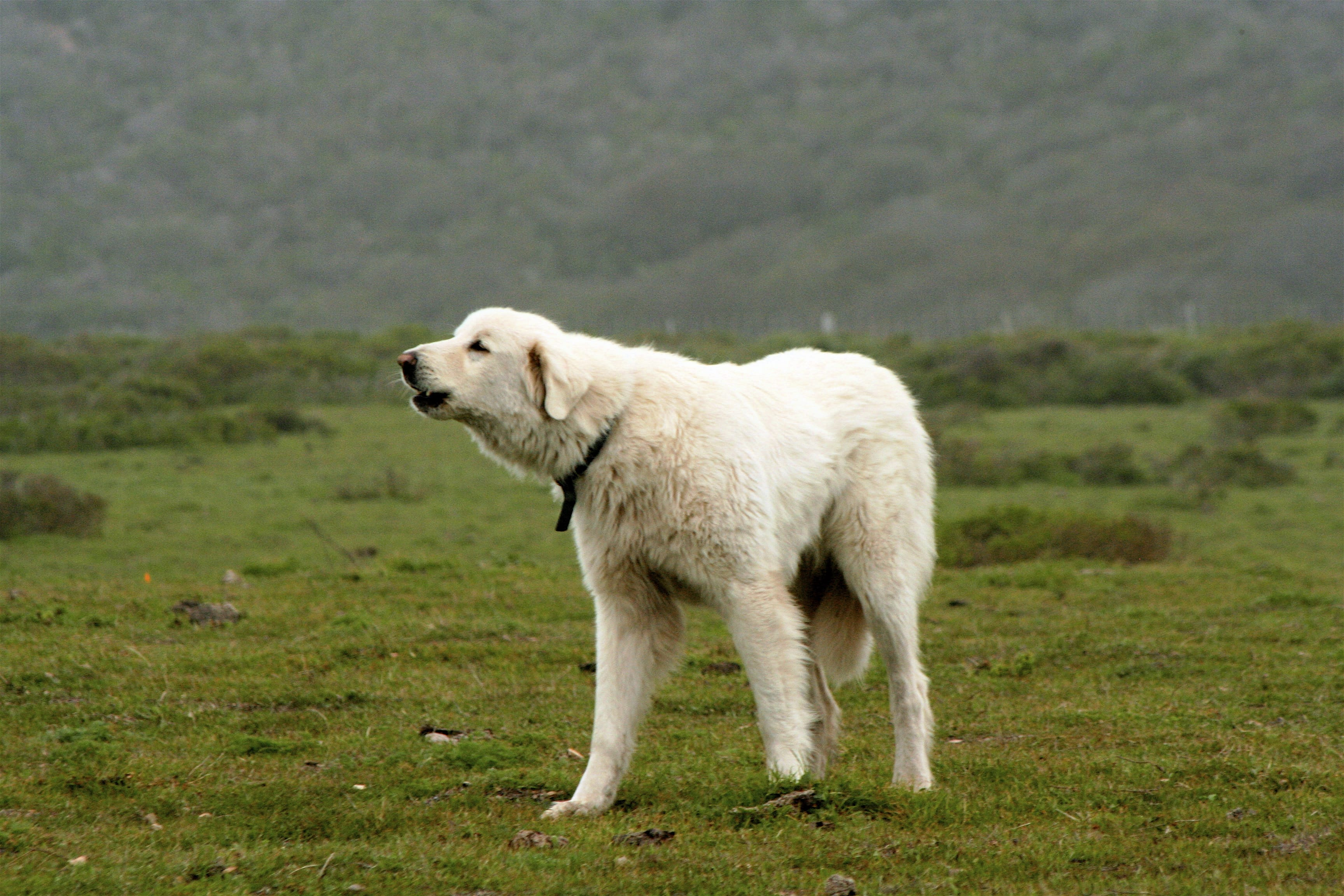 Pyrenean Mountain Dog Backgrounds