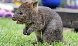 Quokka Widescreen for desktop