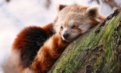 Red panda Widescreen for desktop