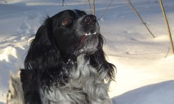 Russian Spaniel Widescreen for desktop