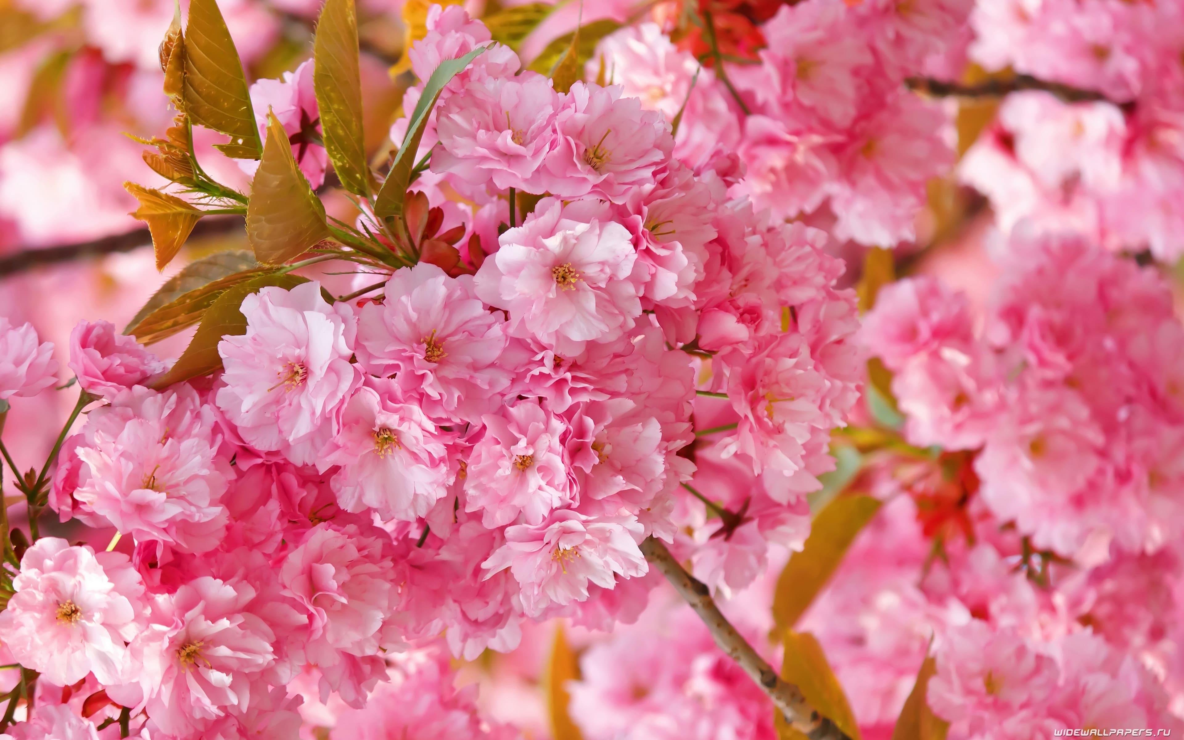 Sakura flower Widescreen for desktop