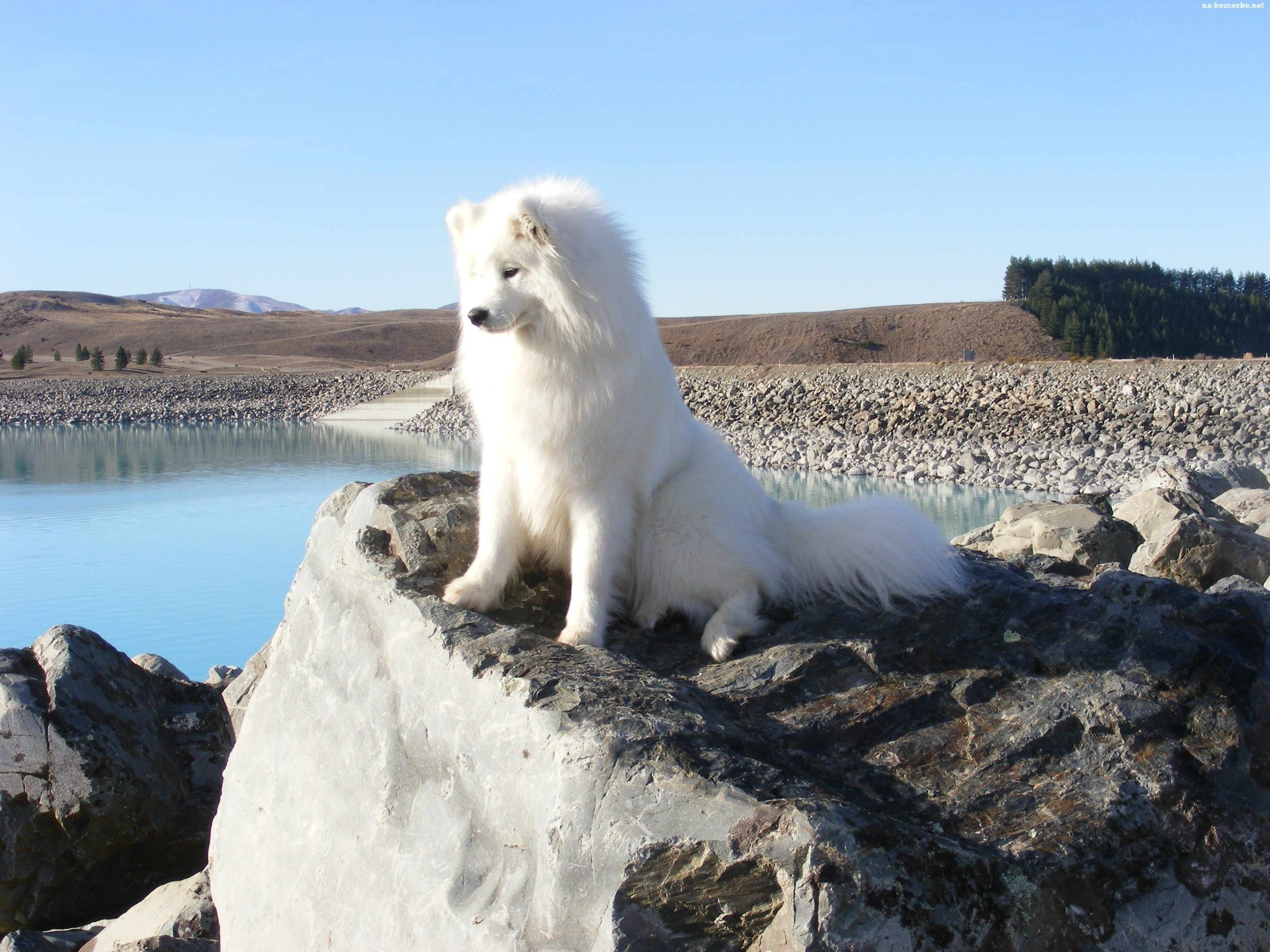 Samoyed Husky Widescreen for desktop