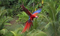 Scarlet macaw Widescreen for desktop
