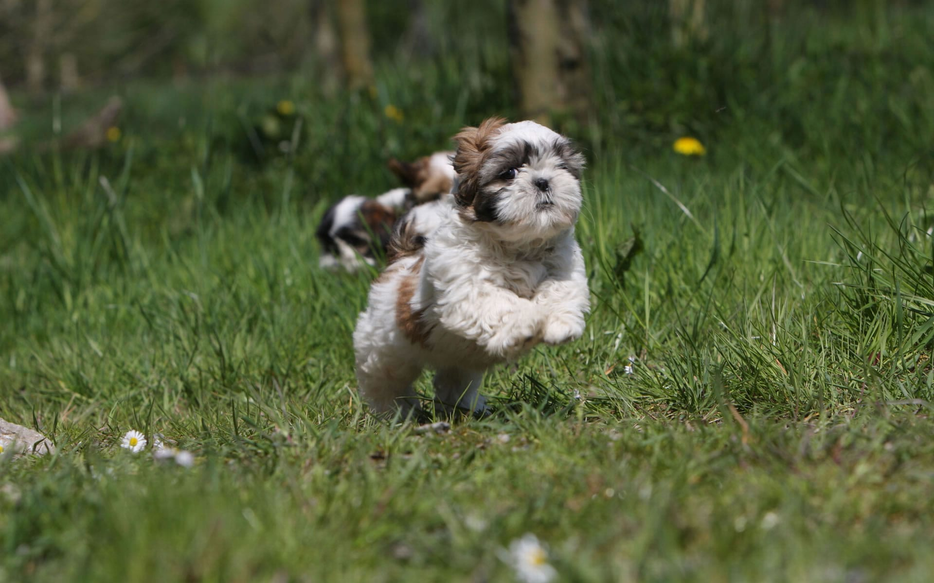 Shih Tzu Widescreen for desktop