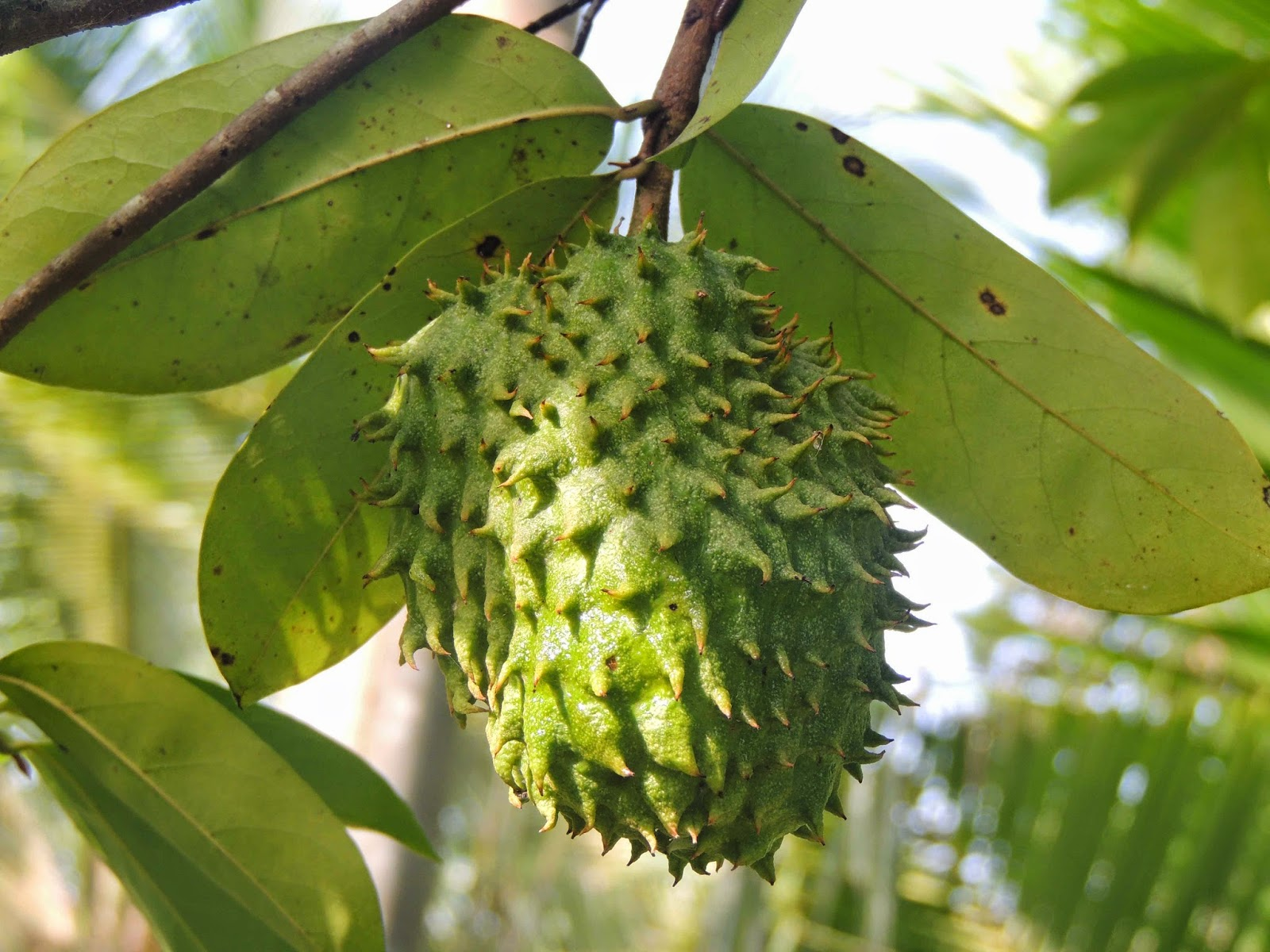 Soursop widescreen for desktop