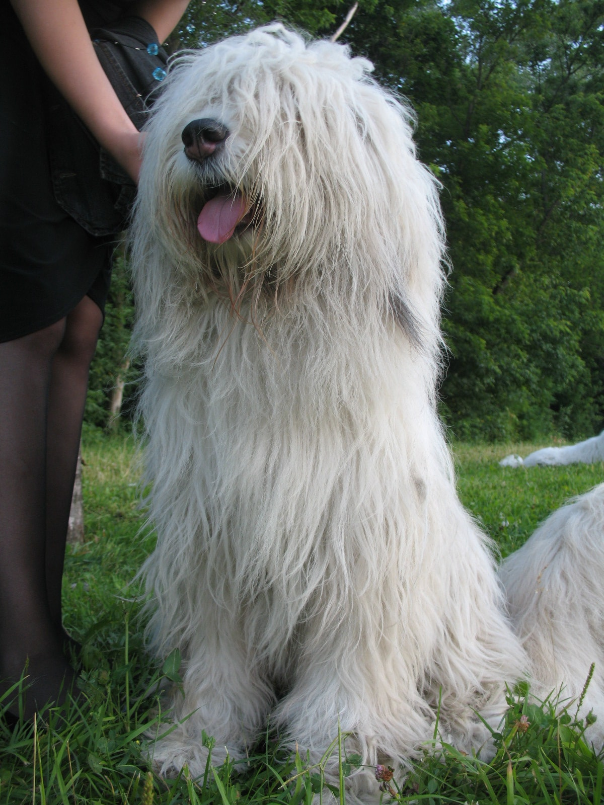 South Russian Sheepdog For mobile