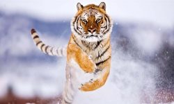 Tiger for mobile