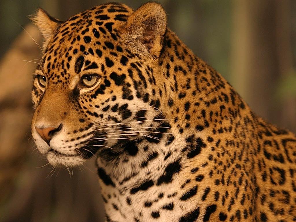 Jaguar wallpapers hd