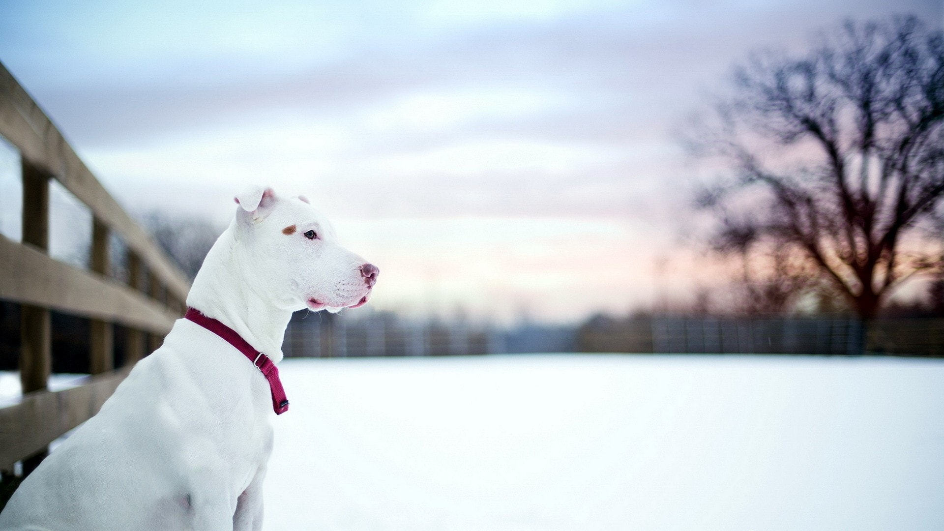 American Pit Bull Terrier High