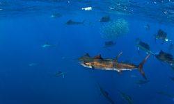 Atlantic sailfish High