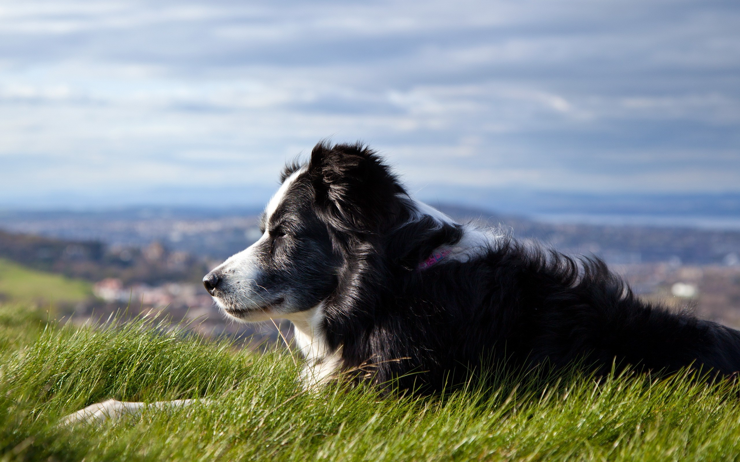 Australian Shepherd High