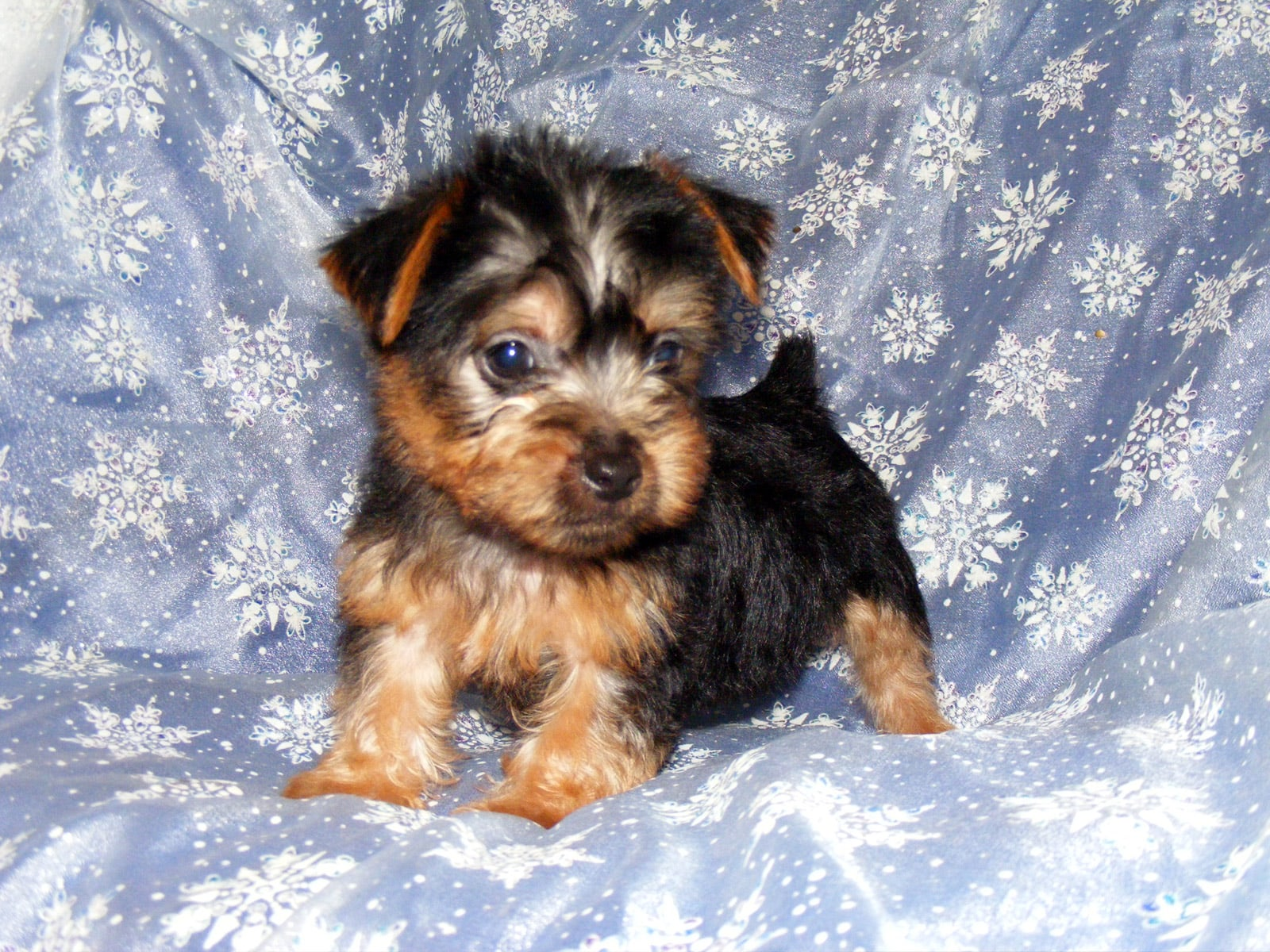 Australian Silky Terrier High