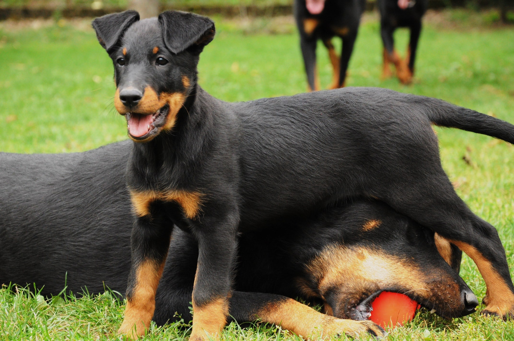 Beauceron High