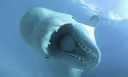 Beluga Whale High