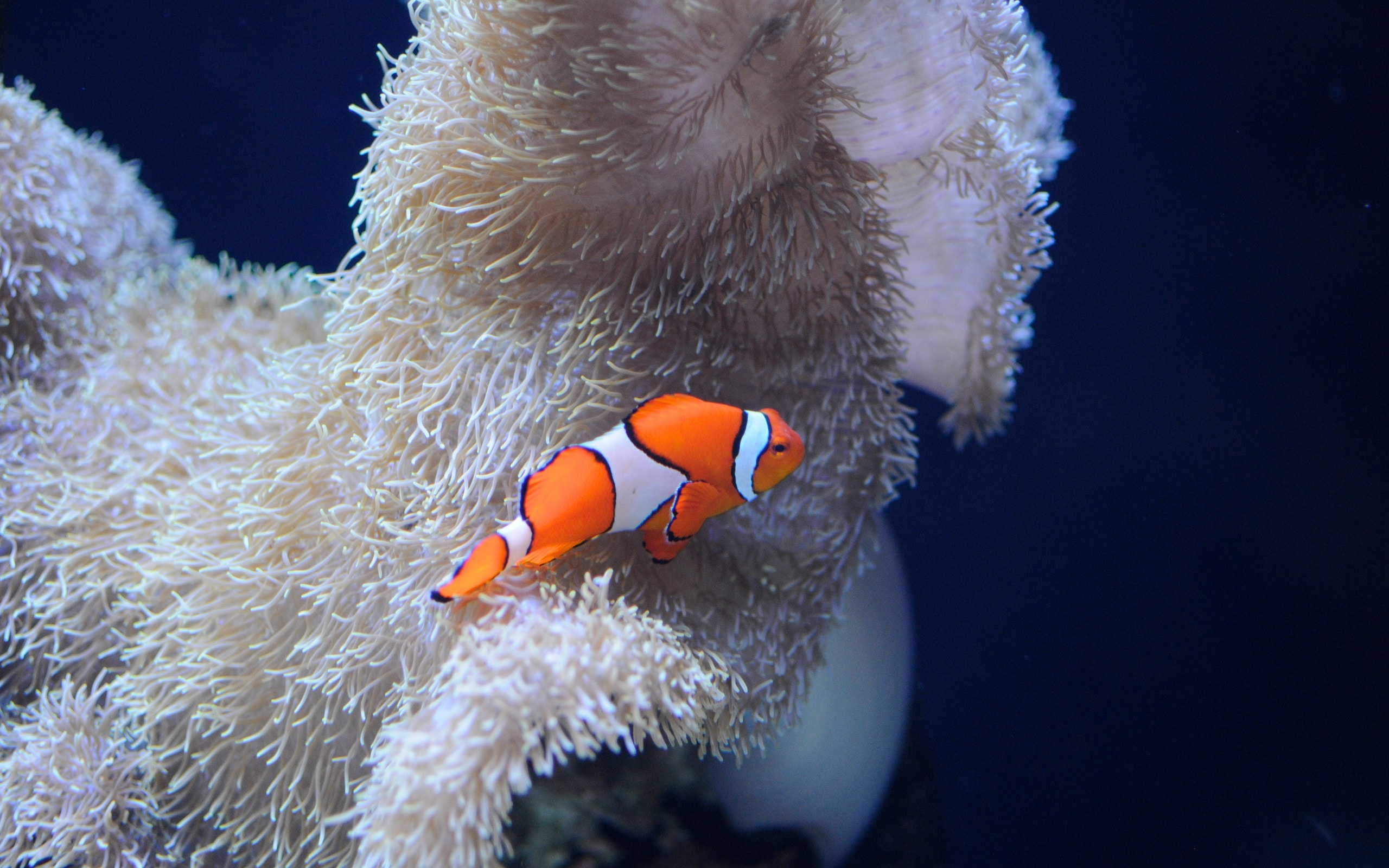 Clownfish High