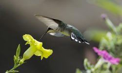 Colibri High