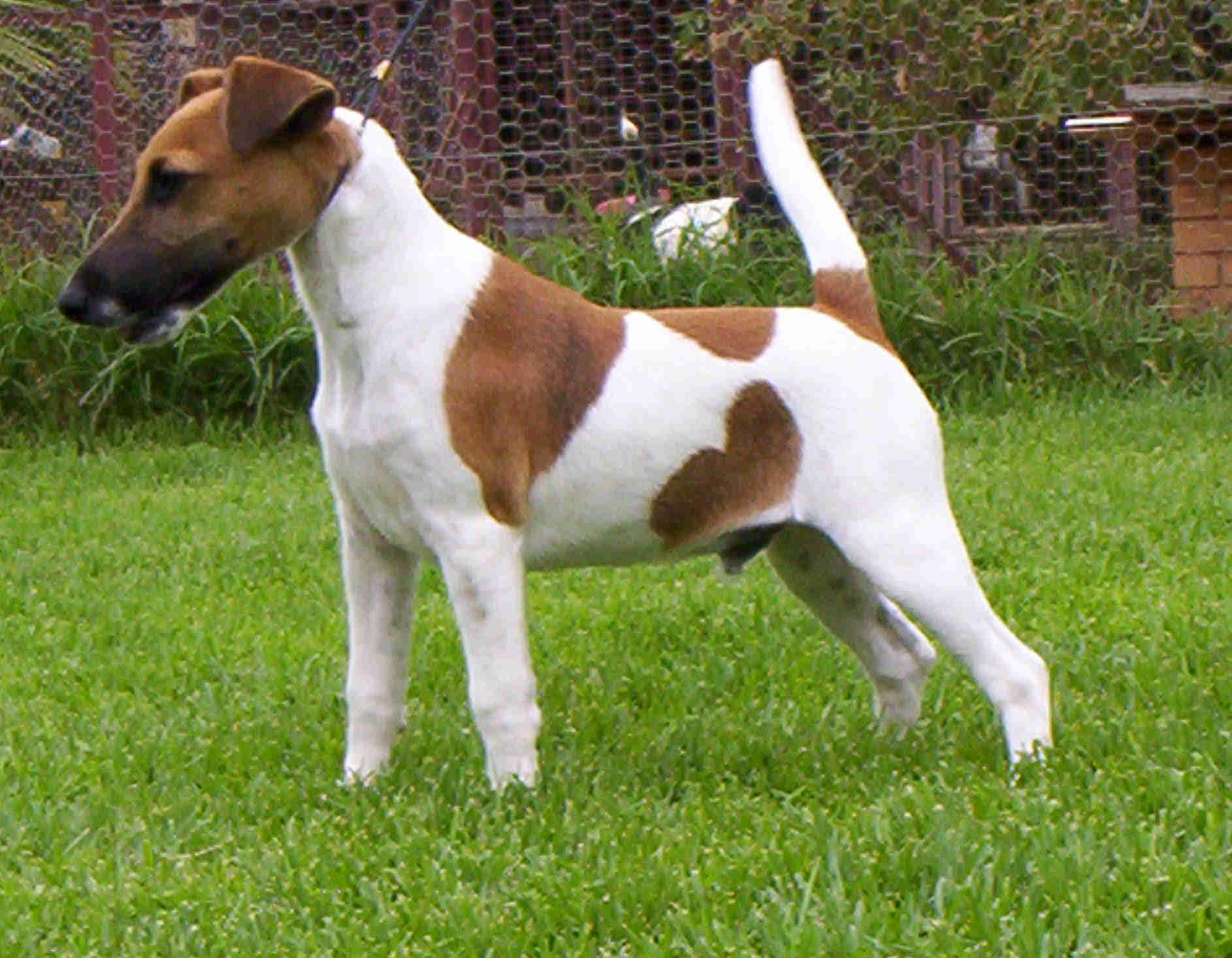 Fox Terrier HD