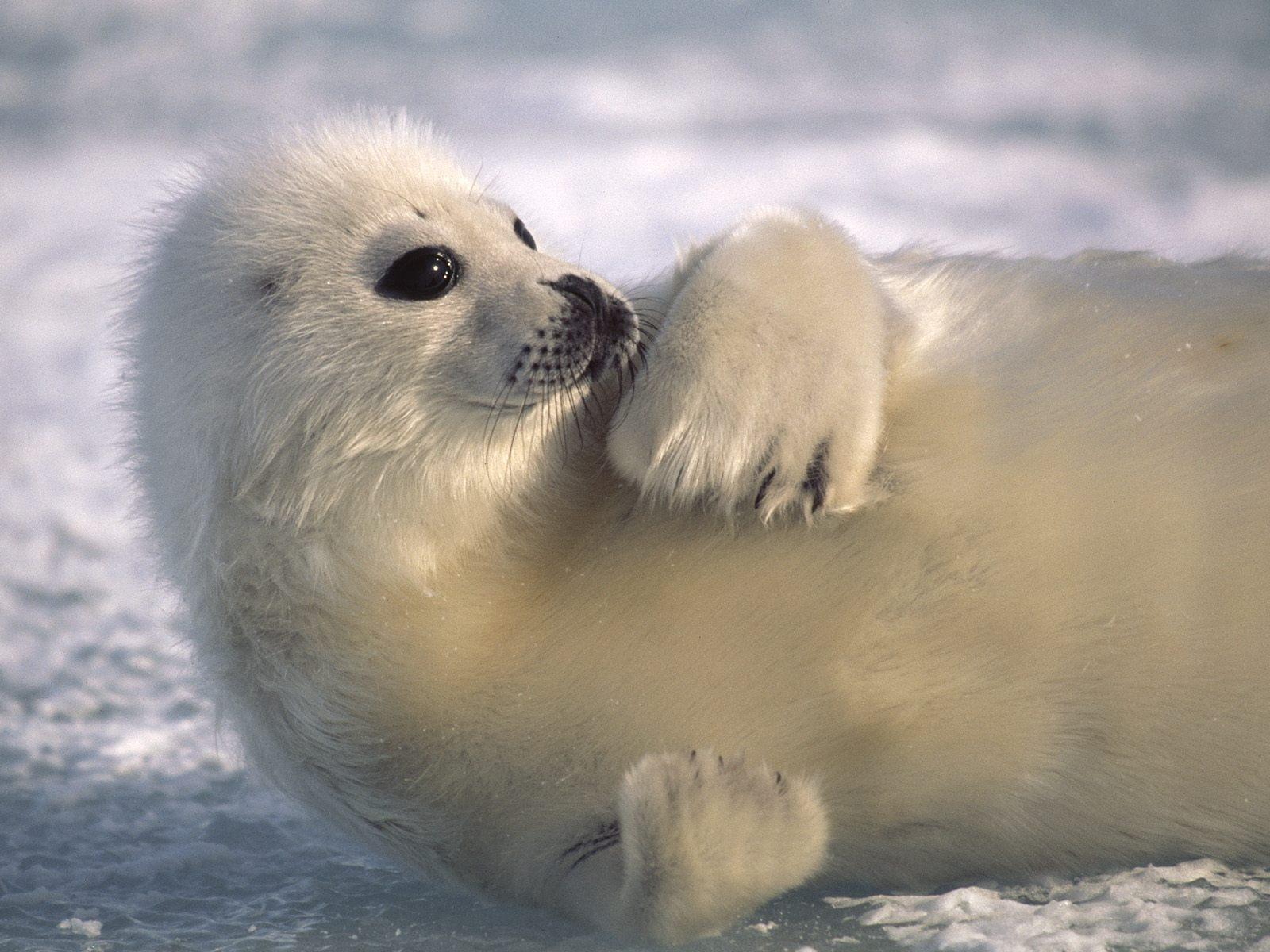 Harp seal High