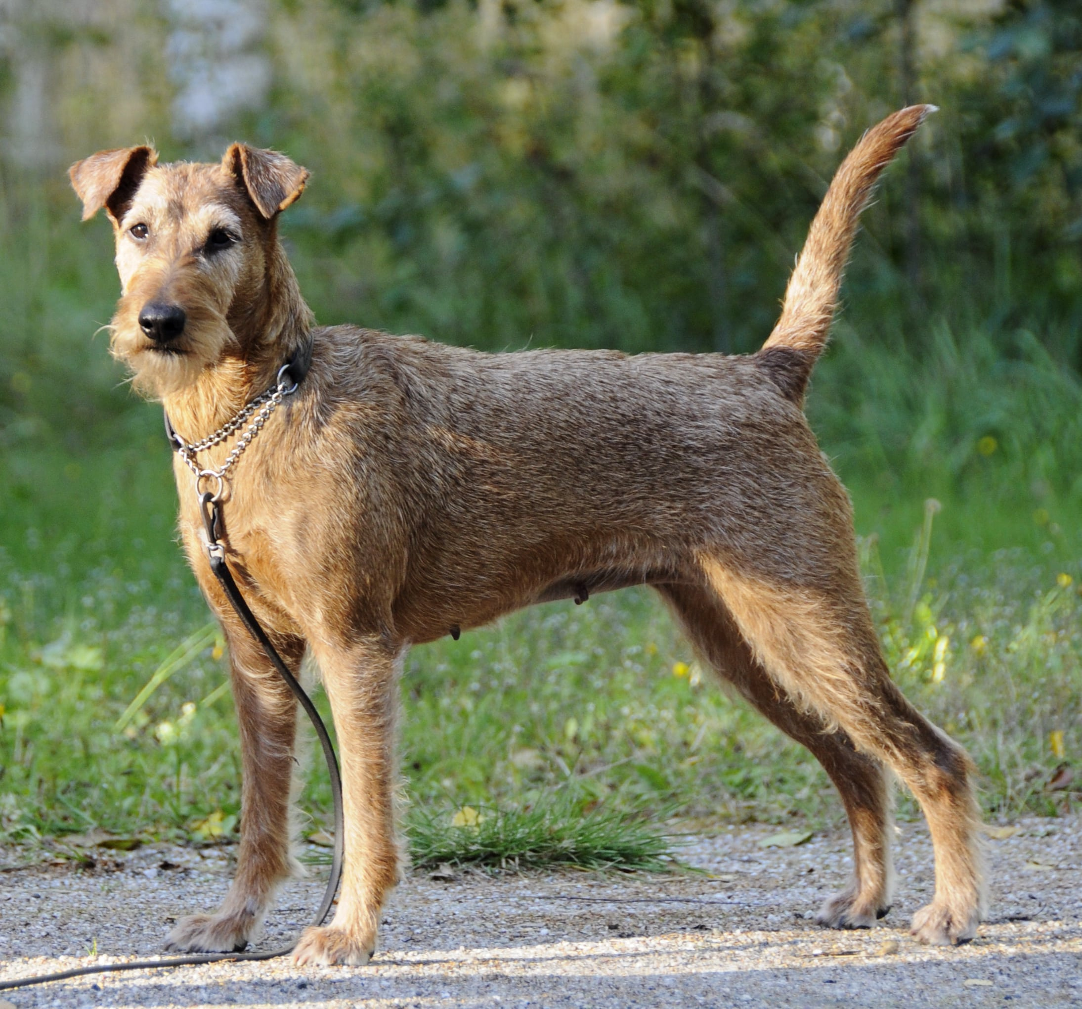 Irish Terrier HD