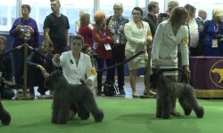 Kerry Blue Terrier High