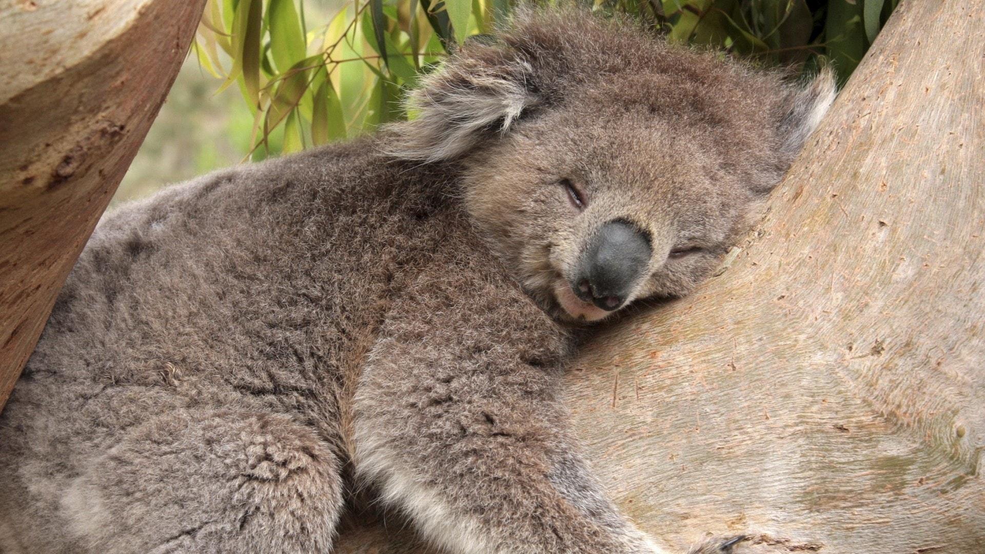 Koala High