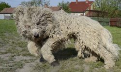 Komondor HD