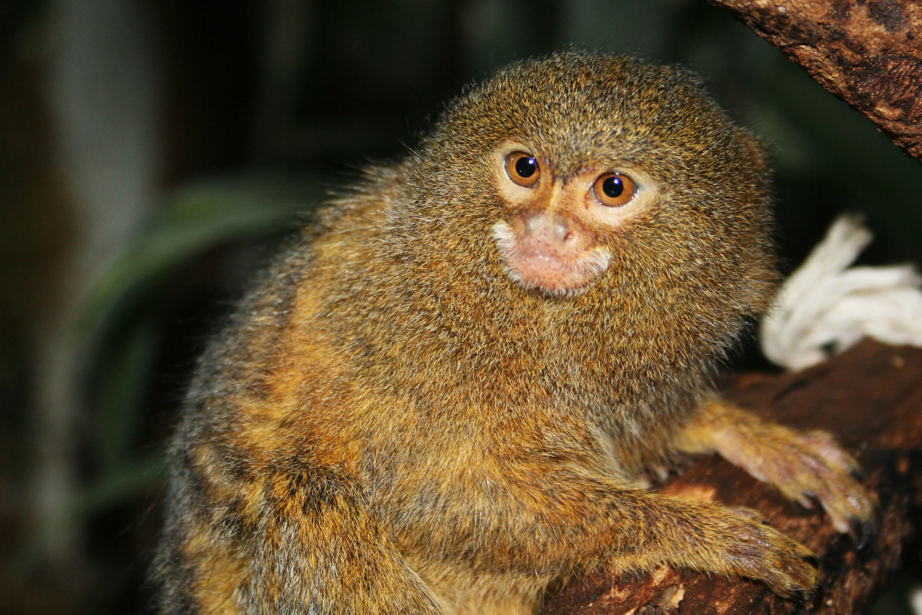 Marmoset monkey High