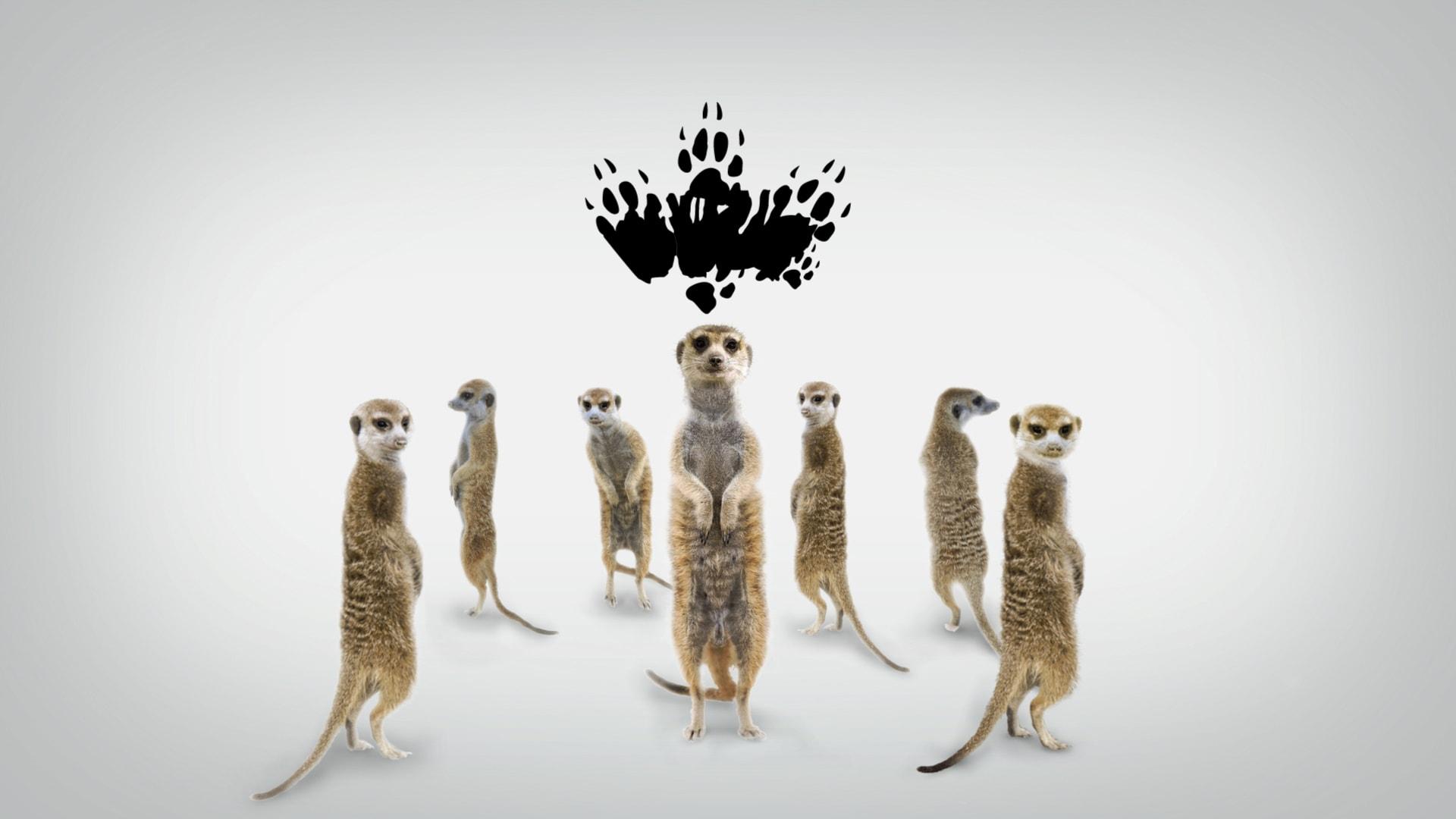 Meerkat High