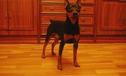 Miniature Pinscher High