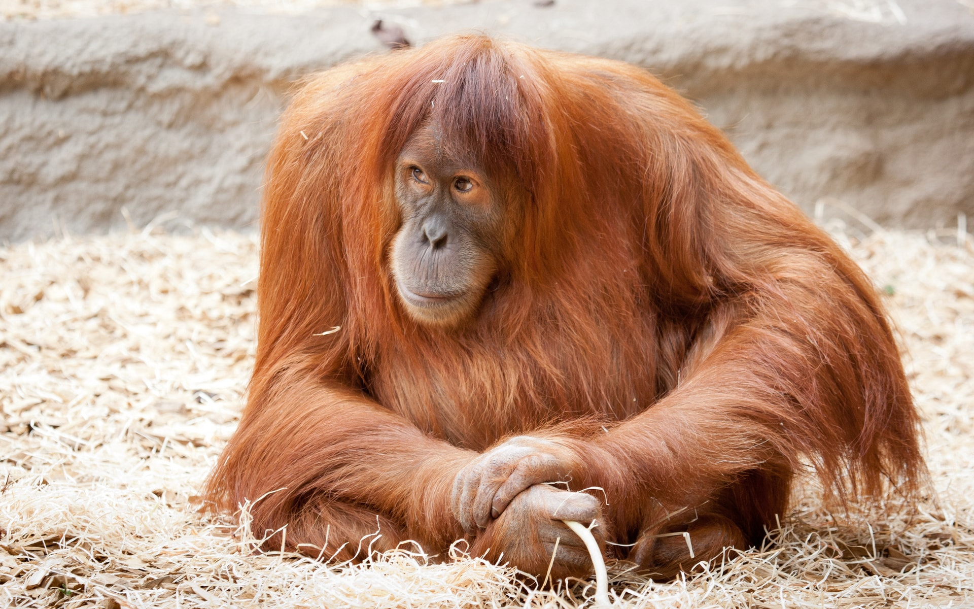 Orangutan Wide wallpapers