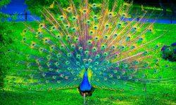 Peacock High
