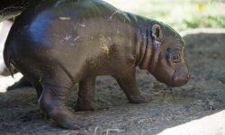 Pygmy hippopotamus High