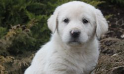 Pyrenean Mountain Dog Desktop wallpaper