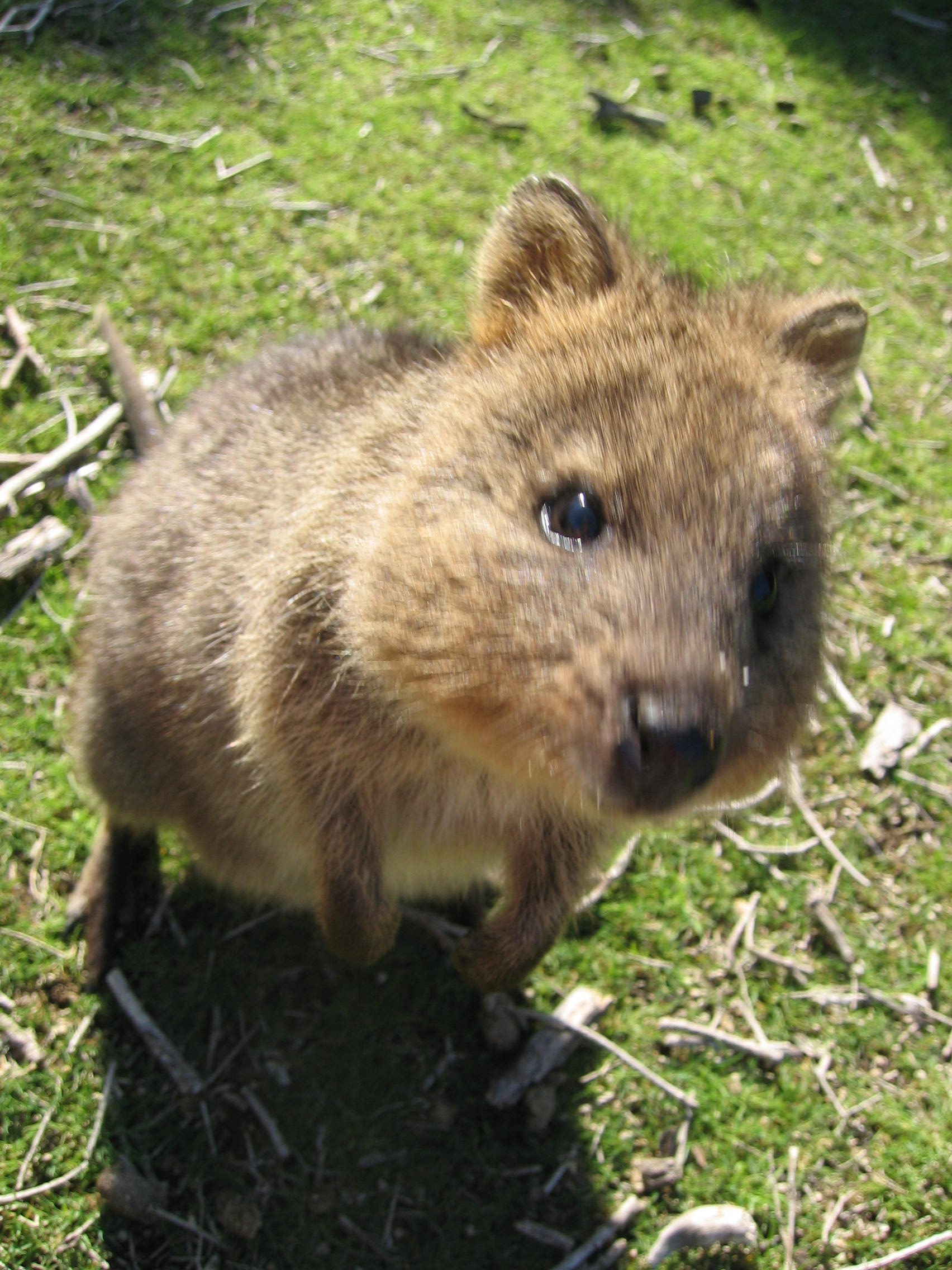 Quokka High