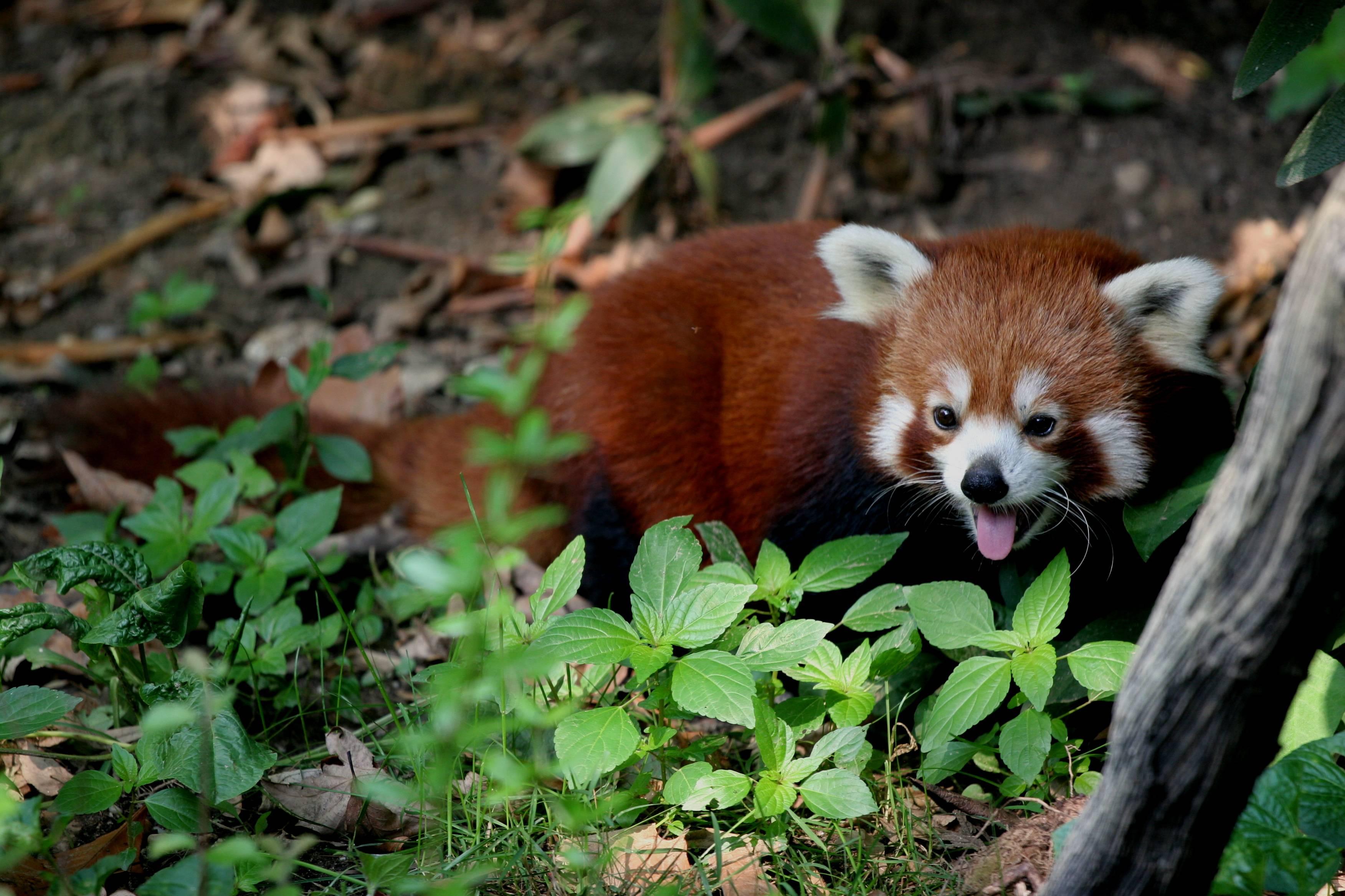 Red panda High
