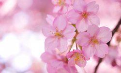 Sakura flower High