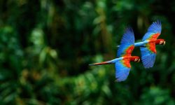 Scarlet macaw High