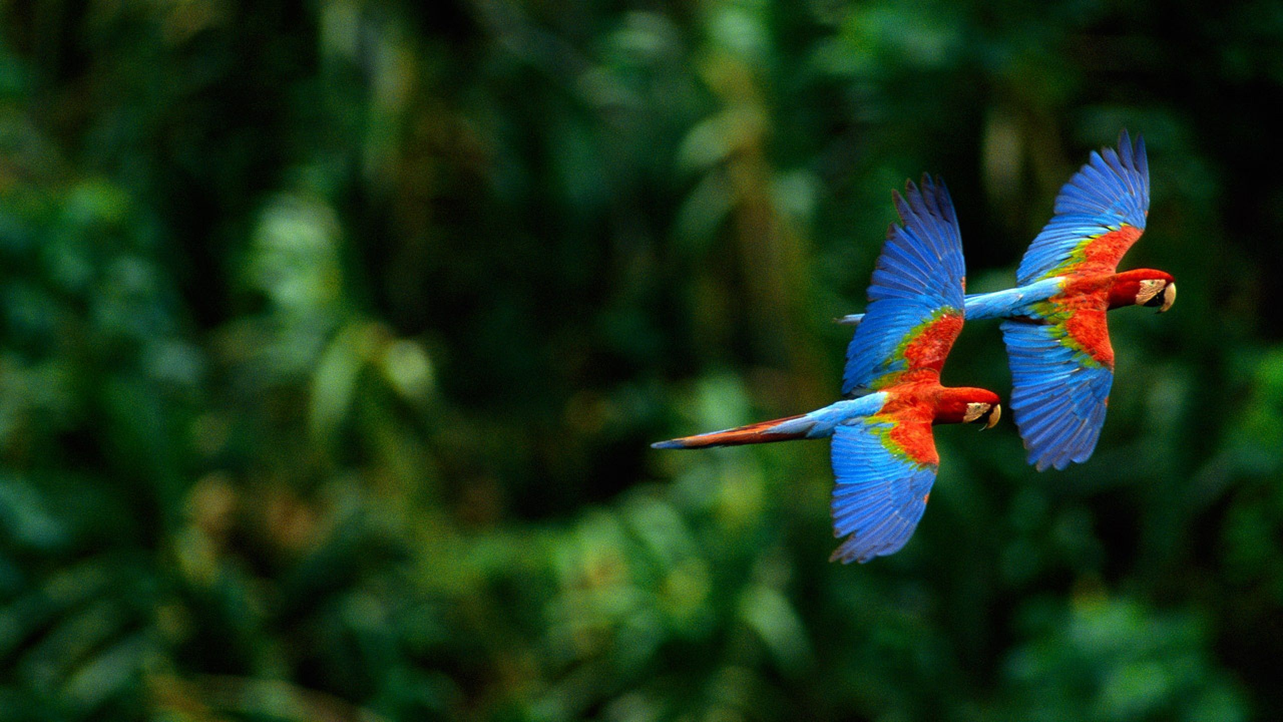 Scarlet macaw High