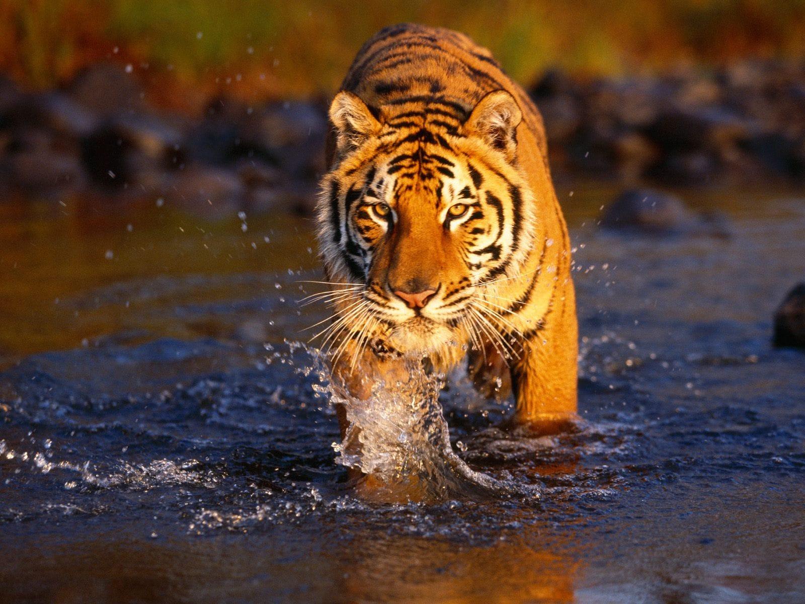 Tiger widescreen for desktop