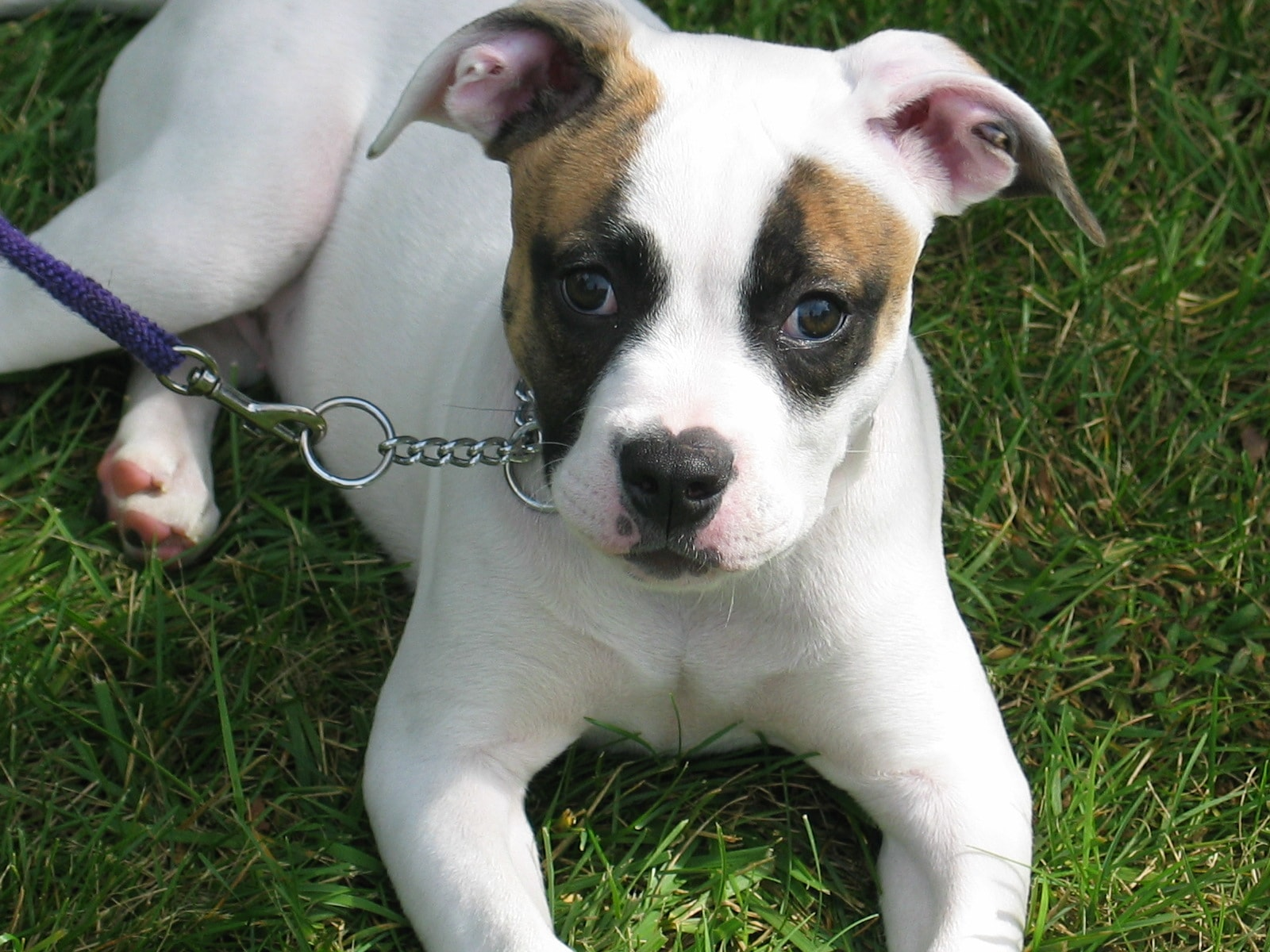 American Bulldog HD