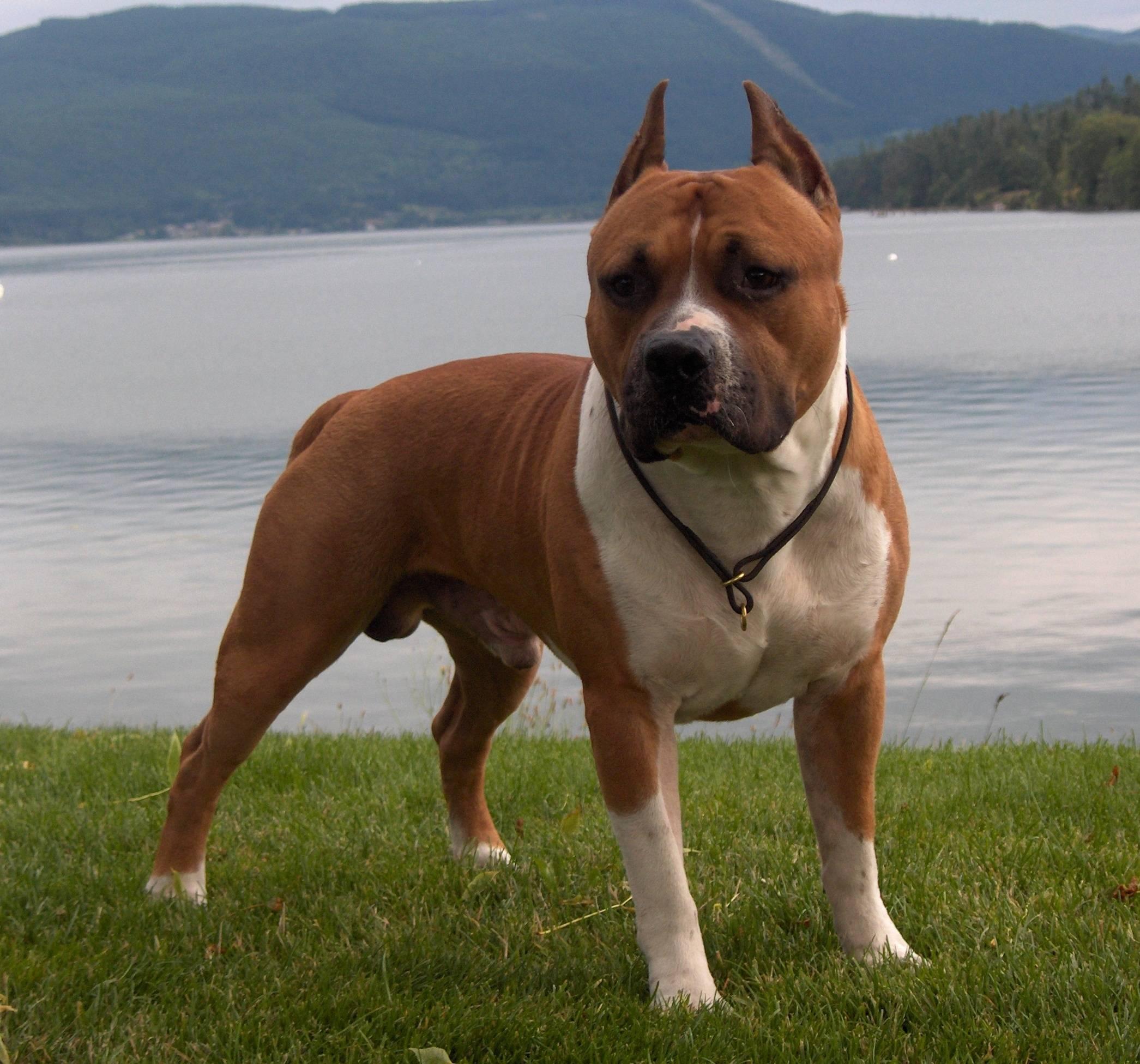 American Pit Bull Terrier HD