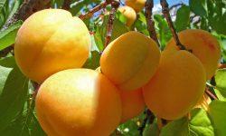 Apricot HD