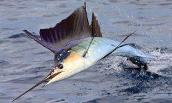 Atlantic sailfish HD