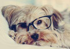 Australian Silky Terrier HD
