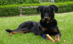 Beauceron HD