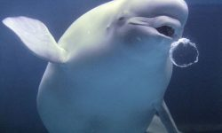 Beluga Whale HD