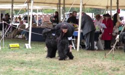 Black Russian Terrier Download